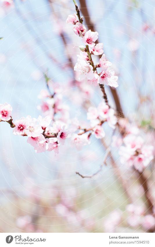 Pfirsichblüten im Frühling Garten Hochzeit Geburtstag Natur Pflanze Schönes Wetter Sträucher Blüte Nutzpflanze Mandelblüte Aprikosenbaum Park Holz Blühend Duft