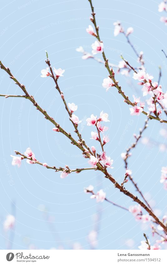 Pfirsichblüte Pflanze Himmel Frühling Sommer Schönes Wetter Baum Blume Sträucher Blüte Nutzpflanze exotisch Aprikosenbaum Pfirsichblüten Mandelblüte La Palma