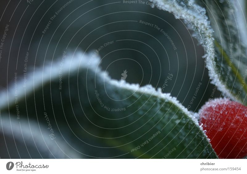Eisbeer Weihnachten & Advent Winter kalt Schnee Ecke Frost gefroren Am Rand Beeren Gift Raureif vergiften vergiftet Ilex Stechpalme