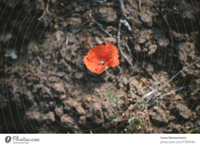 Rote Mohnblüte Ferien & Urlaub & Reisen Ausflug Expedition Sommerurlaub Umwelt Natur Landschaft Pflanze Erde Frühling Klimawandel Dürre Blüte Vulkan Wüste