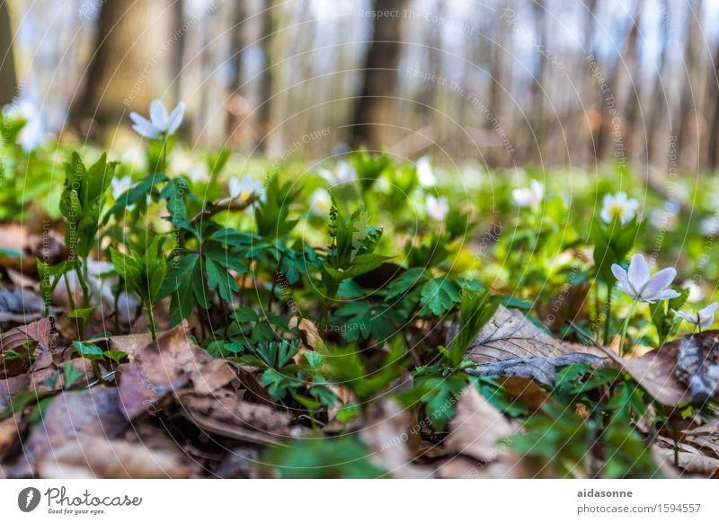 Märzenbcher Pflanze Frühling Schönes Wetter Blume Wald Zufriedenheit achtsam Vorsicht Gelassenheit ruhig Märzenbecher Buchenwald Nienhagen Gespensterwald