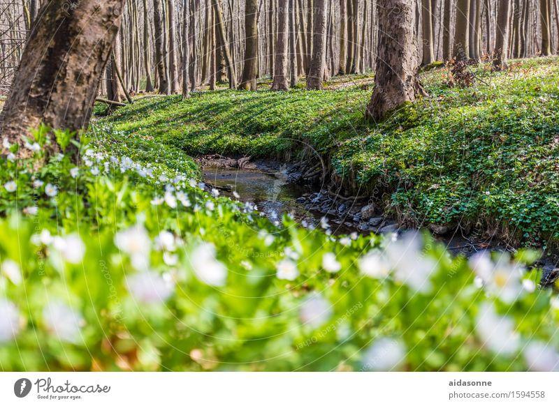 Gespensterwald Natur Landschaft Pflanze Tier Frühling Schönes Wetter Blume Wildpflanze Wald Lebensfreude Frühlingsgefühle achtsam Vorsicht geduldig ruhig