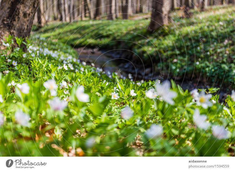 Märzenbecher Natur Landschaft Pflanze Frühling Blüte Wald Glück achtsam Vorsicht Gelassenheit geduldig ruhig Farbfoto Außenaufnahme Menschenleer Tag