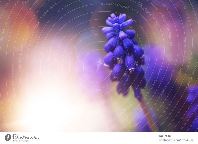 Traubiges elegant Stil Natur Sonne Frühling Pflanze Blume Blüte Wildpflanze Spargelgewächs Traubenhyazinthe Knollengewächse Garten Unschärfe Lichterscheinung
