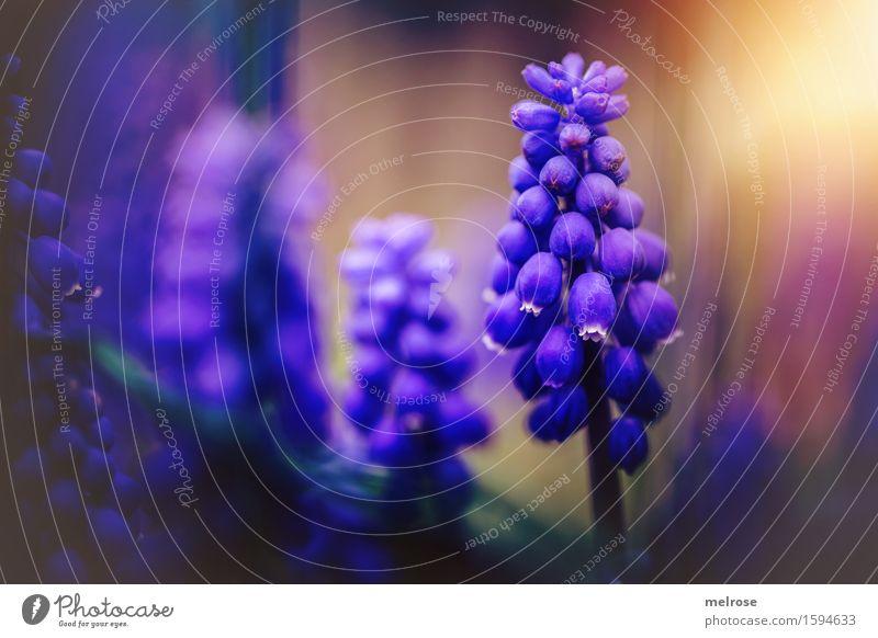 Traubiges II elegant Stil Natur Erde Sonne Frühling Schönes Wetter Pflanze Blume Blüte Traubenhyazinthe Knollengewächse Spargelgewächse Beeren Blütenpflanze
