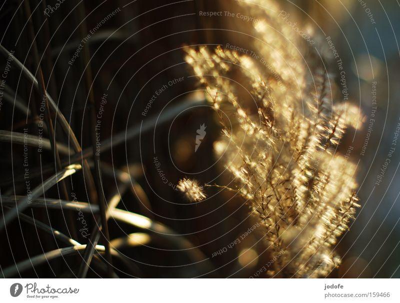 Schilfgras Natur Pflanze Sommer Winter gelb Gras Beleuchtung Küste gold Romantik Frieden Schilfrohr Seeufer friedlich