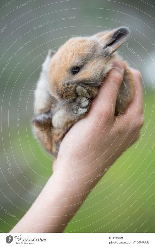 Hand voll Zucker Mädchen Arme Finger 1 Mensch 8-13 Jahre Kind Kindheit Haustier Tiergesicht Fell Pfote Hasenbaby Zwergkaninchen Nagetiere Säugetier Hasenlöffel