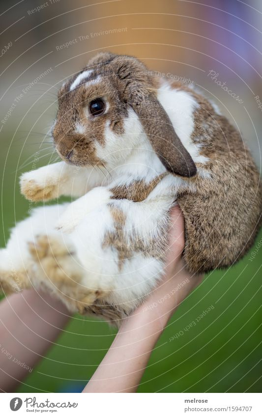 stolze Hasenmutti Mädchen Arme Hand Finger 8-13 Jahre Kind Kindheit Haustier Tiergesicht Fell Pfote Zwergkaninchen Säugetier Nagetiere Hasenlöffel