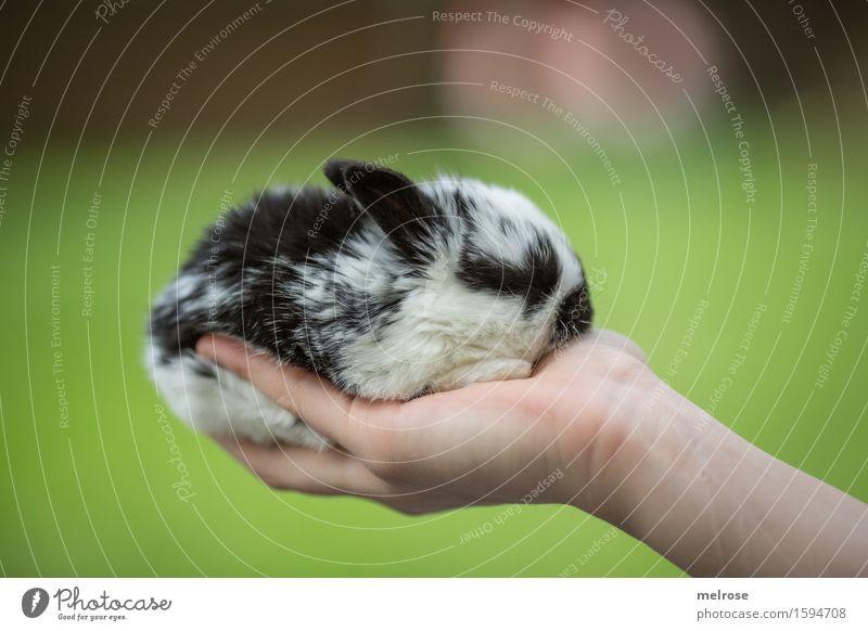 eine Handvoll ... Mädchen Arme Finger 1 Mensch 8-13 Jahre Kind Kindheit Haustier Tiergesicht Fell Hasenlöffel Zwergkaninchen Säugetier Nagetiere Hasenbaby