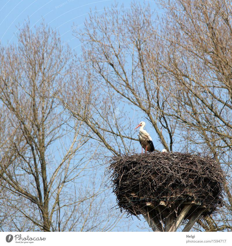 in freudiger Erwartung... Umwelt Natur Pflanze Tier Wolkenloser Himmel Frühling Schönes Wetter Baum Wildtier Vogel Storch Horst 1 Blick stehen authentisch