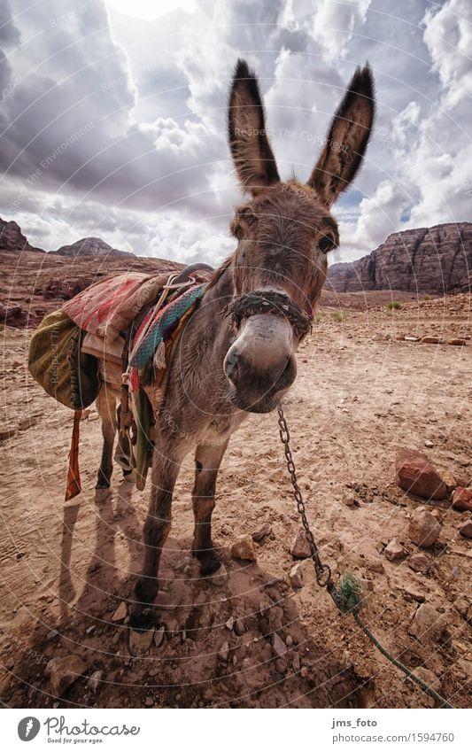 Du ESEL Landschaft Tier Freude Tourismus Güterverkehr & Logistik Nutztier Esel Jordanien