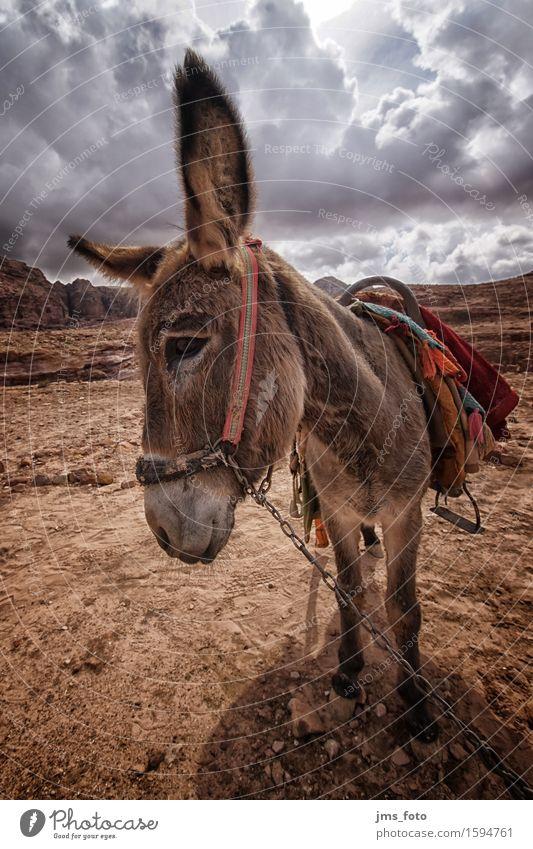 Esels Natur Landschaft Wüste Tier Nutztier 1 Freude Tourismus Güterverkehr & Logistik Jordanien Farbfoto Außenaufnahme Weitwinkel Tierporträt