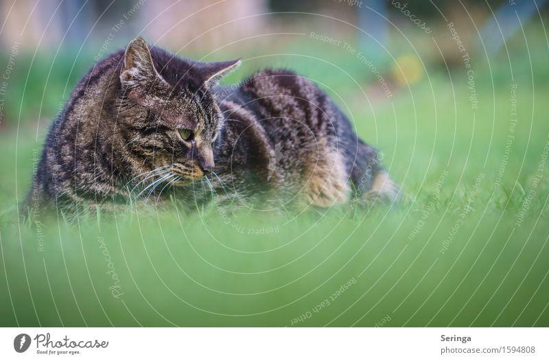 Zeit für nen Schläfchen , oder doch nicht? Katze Pflanze Tier Wiese Bewegung Garten Fell Jagd Haustier Tiergesicht Fressen Krallen Katzenauge Katzenkopf