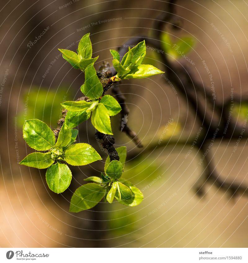 es sprießt Natur Pflanze Frühling Baum Blatt grün Blühend sprießen Farbfoto Außenaufnahme Textfreiraum oben Textfreiraum unten Schwache Tiefenschärfe
