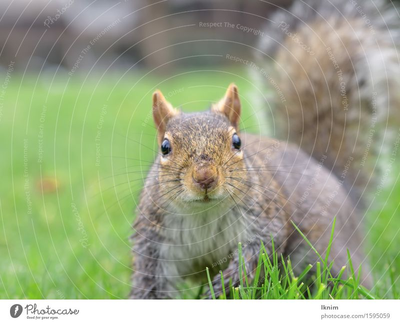 Eichhörnchen im Gras Natur grün Tier Wiese natürlich Wildtier Neugier