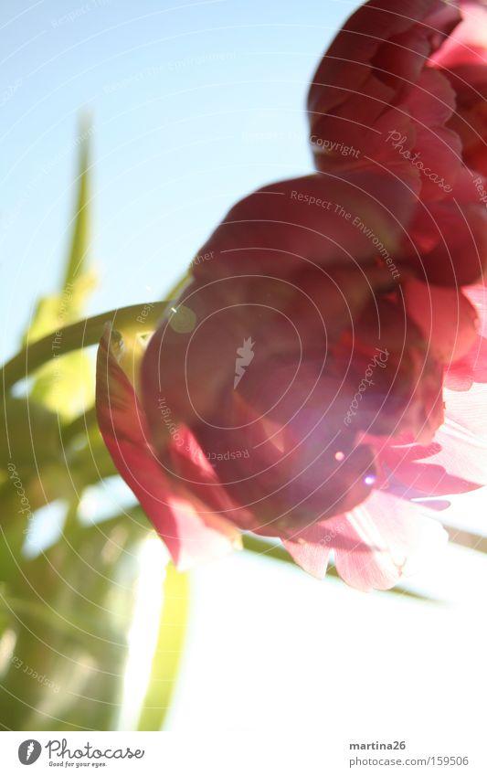 Tulpen im Gegenlicht Sonne Blume grün rot Farbe Blüte Frühling Glück rosa frisch Fröhlichkeit Romantik rein Lebensfreude Neugier Blühend