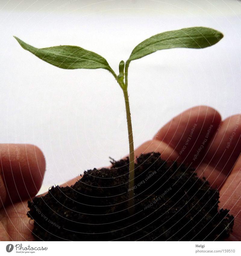 junge Pflanze mit Erde in einer Hand Farbfoto Nahaufnahme Schatten Garten Gartenarbeit Finger Natur Frühling Blatt Grünpflanze Nutzpflanze Park Wachstum