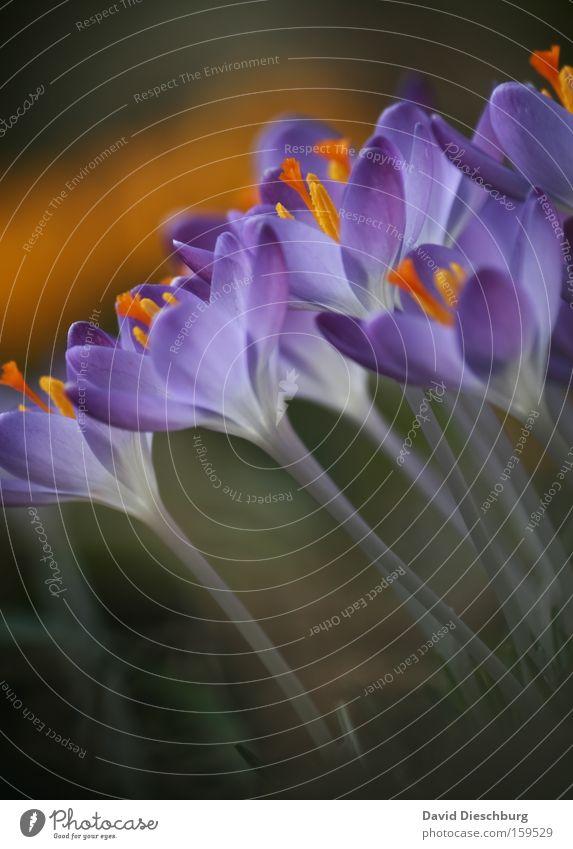 Beginn :-) Farbfoto Nahaufnahme Detailaufnahme Makroaufnahme Kontrast Sommer Natur Pflanze Frühling Blume Blüte Blühend violett Krokusse Stengel Nektar schön