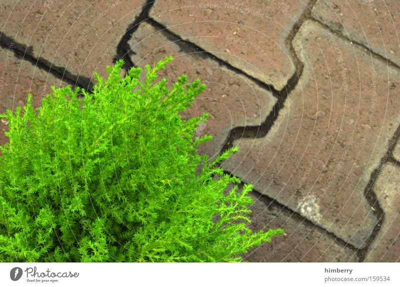 grünstein Pflanze Frühling Garten Stein Park Kopfsteinpflaster Pflastersteine Bordsteinkante Nadelbaum Steinboden Baumschule Gartenweg