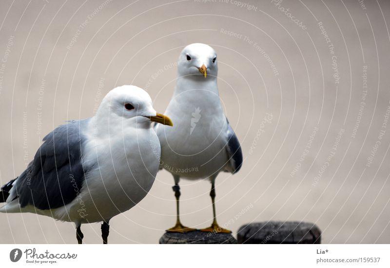 Eine Seeflugratte kommt selten allein Tier Vogel Tierpaar trist grau Möwe 2 beige paarweise Außenaufnahme Textfreiraum rechts Blick sitzen Menschenleer