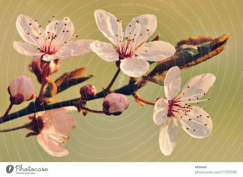 Eröffnung Natur Frühling Blüte Blutpflaume Kirschpflaume Samen Blütenknospen Zweig Baum Stempel Blühend leuchten ästhetisch Freundlichkeit glänzend schön neu