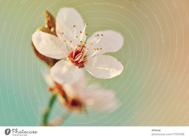 Frühling in pastell Schönes Wetter Blüte Blutpflaume Kirschpflaume Samen Stempel Blütenblatt Garten Park Blühend leuchten ästhetisch Duft Glück Fröhlichkeit