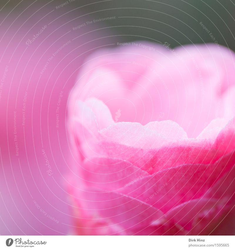 Pretty Pink VI Garten Dekoration & Verzierung Umwelt Natur Pflanze Frühling Sommer Blume Blüte Topfpflanze Park dünn schön rosa Gesundheit Hoffnung Leben