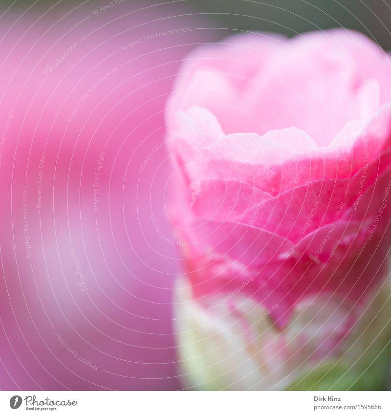 Kurz vor der Entfaltung Umwelt Natur Pflanze Frühling Sommer Blüte Garten Park rosa entfalten geschlossen zart filigran Niveau dünn schön Blume Öffnung