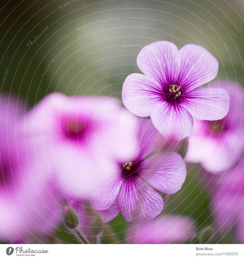 Pretty Pink IV elegant Stil schön Dekoration & Verzierung Umwelt Natur Pflanze Frühling Sommer Blume Blüte Topfpflanze Garten Park rosa Duft Farbe feminin