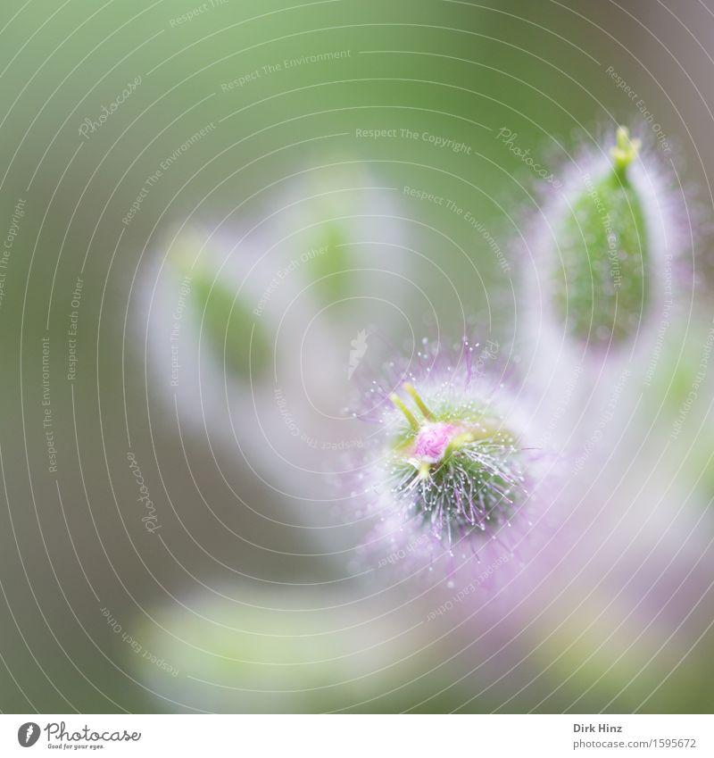 Blütenknospe Natur Pflanze schön Sommer Blume Umwelt Frühling feminin Gesundheit Garten Park Wachstum elegant Lebensfreude weich