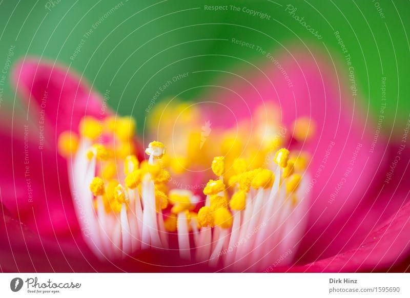 Blütenpollen II elegant Garten Dekoration & Verzierung Umwelt Natur Pflanze Frühling Sommer Blume Topfpflanze Park frisch natürlich schön feminin gelb rot