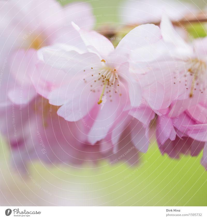 Frühblüher Garten Umwelt Natur Pflanze Frühling Baum Nutzpflanze Park Duft frisch Gesundheit schön natürlich feminin weich rosa Pollen Blütenblatt Blütenstempel