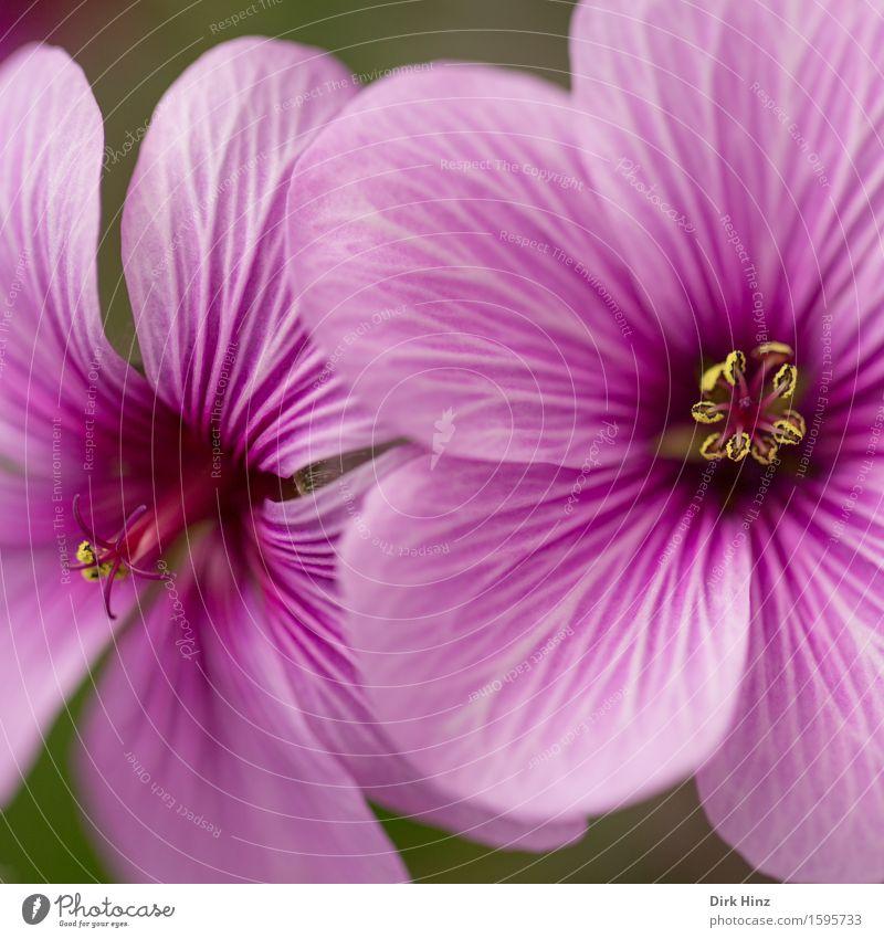 Pretty Pink I Umwelt Landschaft Pflanze Frühling Sommer Blume Blüte Topfpflanze Garten Park ästhetisch Duft natürlich violett rosa Beginn Wachstum feminin schön