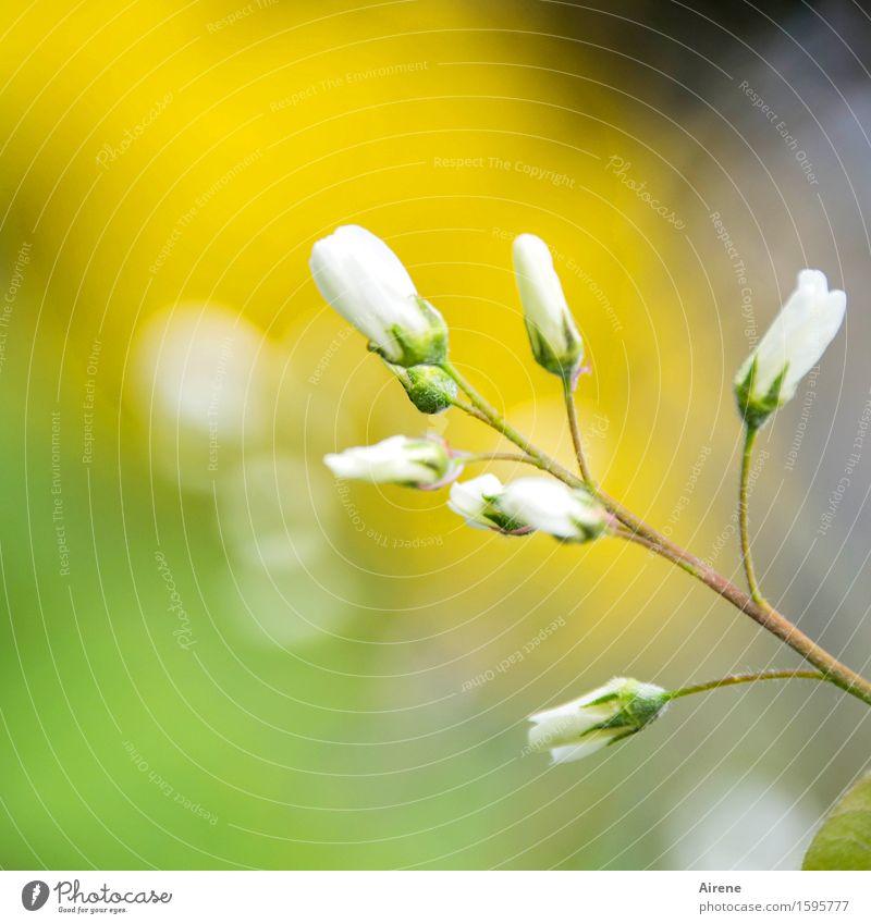 Versprechen Pflanze Schönes Wetter Baum Sträucher Blüte Felsenbirne Blühend Wachstum Freundlichkeit klein positiv gelb weiß Gefühle Frühlingsgefühle Vorfreude