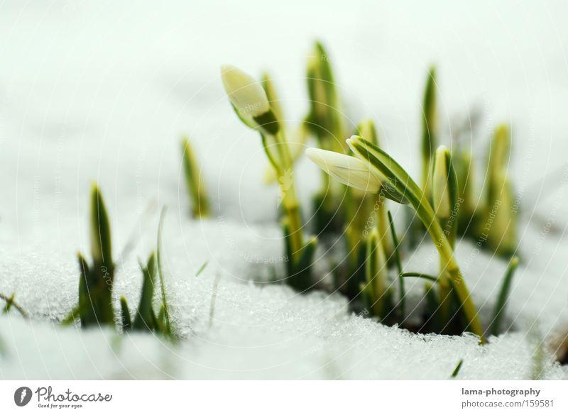 Kleine Eisbrecher Blume Pflanze Schnee Blüte Frühling Wachstum zart fein aufwachen Schneeglöckchen Jungpflanze sprießen