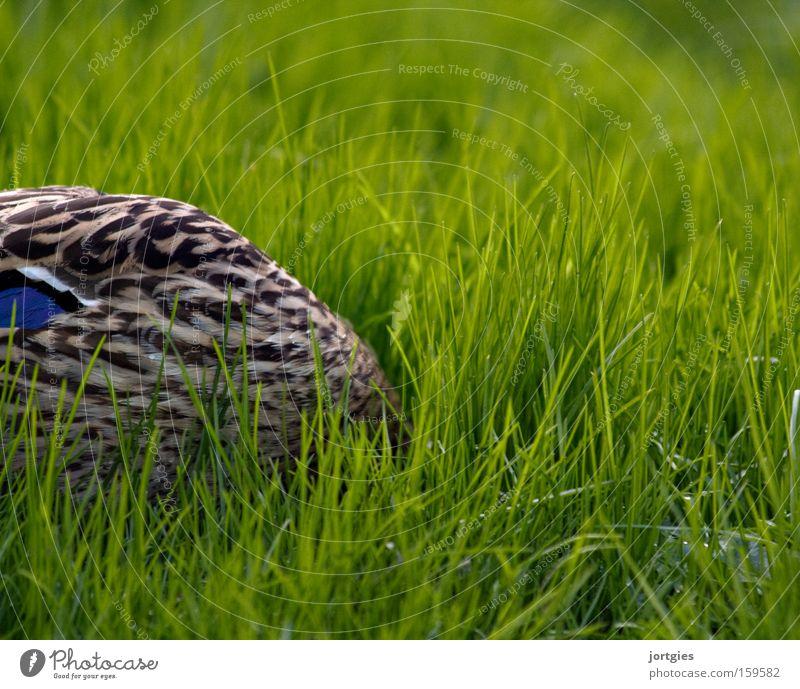 Immer schön locker bleiben Erholung Vogel Angst Stress verstecken Ente Panik Futter Wurm Nahrungssuche Strauß Stockente