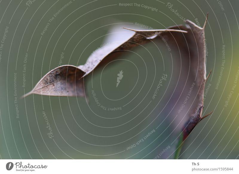 Blatt Natur Pflanze Frühling Herbst Winter Bewegung verblüht ästhetisch authentisch einfach elegant natürlich Spitze braun grün Gelassenheit geduldig ruhig