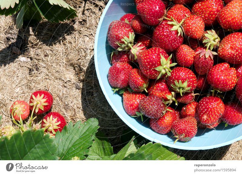 Let me take you down 'cause I'm going to ... Pflanze Sommer rot Essen Garten Frucht Feld frisch lecker Ernte Schalen & Schüsseln Erdbeeren ansammeln pflücken