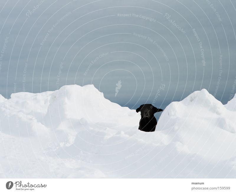 Such mich! Hund Winter Freude schwarz Schnee Spielen Glück Fröhlichkeit Vertrauen Haustier Erwartung Labrador Tier Spieltrieb