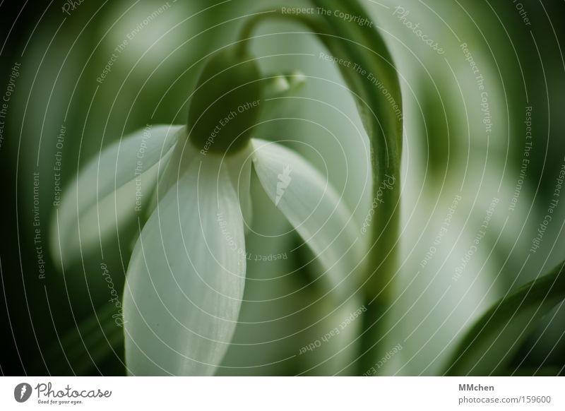 Frühling is coming to town Schneeglöckchen Blume Pflanze Blüte Blütenkelch grün weiß Schatten Frühlingsblume Frühlingstag Duft Frühlingsfest Frühlingsfarbe
