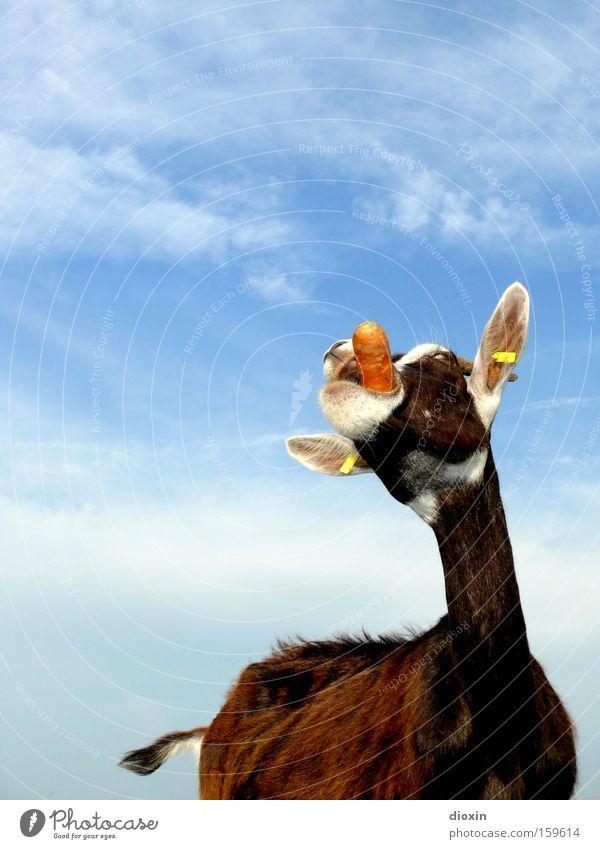 Marlene mag Möhren Lebensmittel Ernährung Gemüse Bauernhof Bioprodukte Säugetier Biologische Landwirtschaft Ziegen biologisch Tier Rüben Rohkost