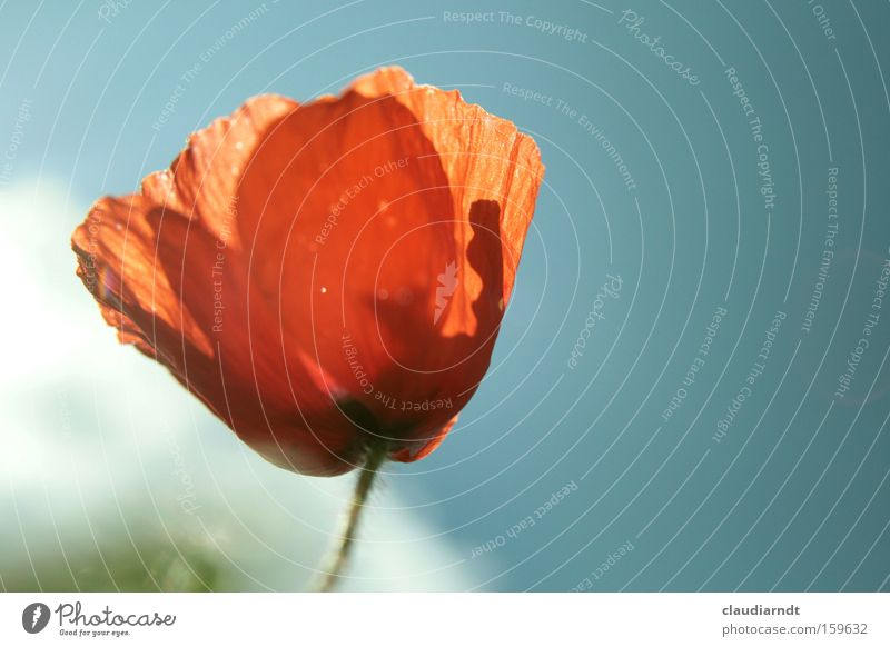 mohnrot Blume Pflanze rot Sommer Blüte zart Blühend Mohn durchsichtig Kornfeld Mohnblüte Feldrand