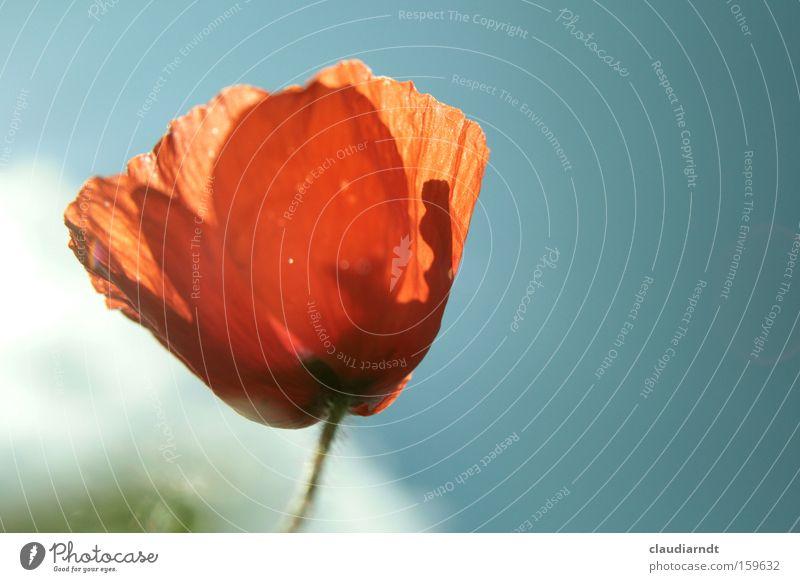 mohnrot Blume Pflanze Sommer Blüte zart Blühend Mohn durchsichtig Kornfeld Mohnblüte Feldrand