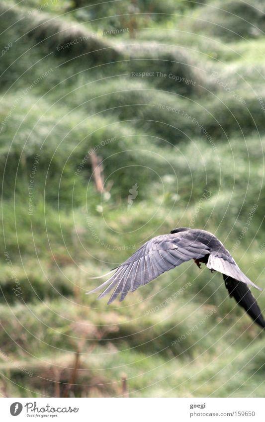 Flügelschlag Natur grün schwarz Tier Wiese Freiheit Gras Küste Vogel Kraft fliegen Ausflug Beginn Feder Abheben