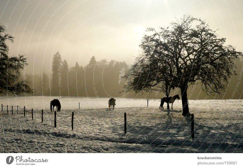 Pferdeflüstern Baum Wald Reitsport Reiten Zaun Schnee Winter Nebel Dunst 3 Tier Weide Schweiz Landschaft Gegenlicht Fressen Säugetier Reitstall