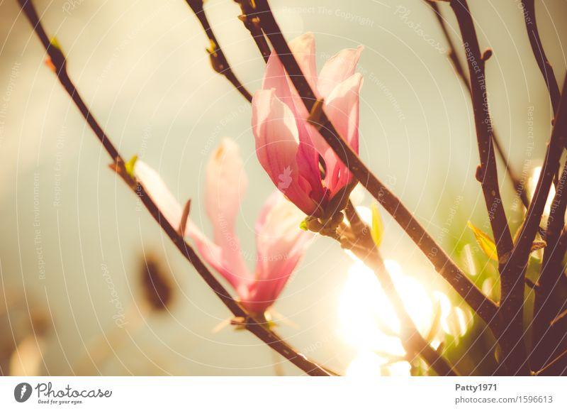 Magnolie Natur Pflanze Sonnenlicht Baum Magnoliengewächse Magnolienbaum Magnolienblüte Flussufer Blühend rosa Liebe Romantik ruhig Idylle Wachstum Farbfoto
