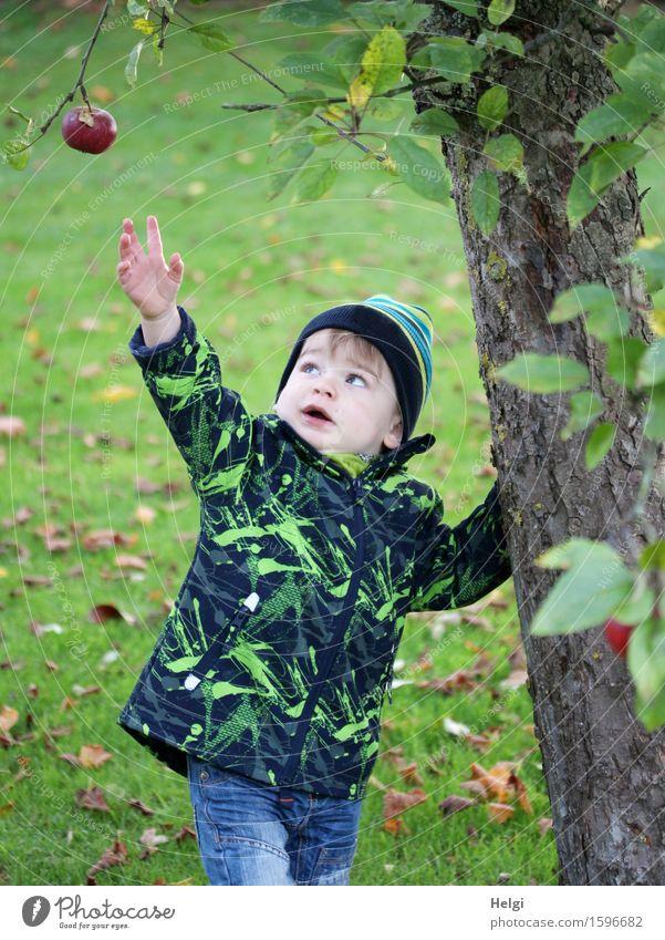 die süssesten Früchte... Mensch Natur Pflanze blau grün Baum Umwelt Herbst Wiese klein Garten braun Frucht maskulin authentisch Kindheit