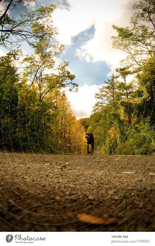 Es kippt... Wege & Pfade Herbst Hund Asphalt Wald Baum Oktober Jagdhund Tier Spaziergang Wolken Himmel laufen Blatt Säugetier gassi Straßenhund