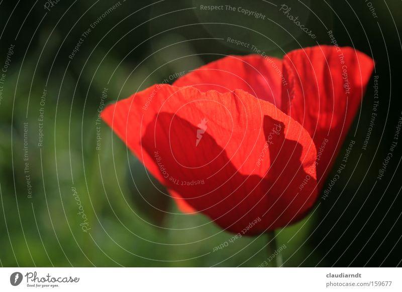Mohntag Mohnblüte Blume Blüte Pflanze Blühend Sommer Schatten rot Kraft zart durchsichtig Farbe