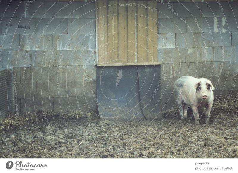 Schwein Appetit & Hunger Geruch Misthaufen Übelriechend